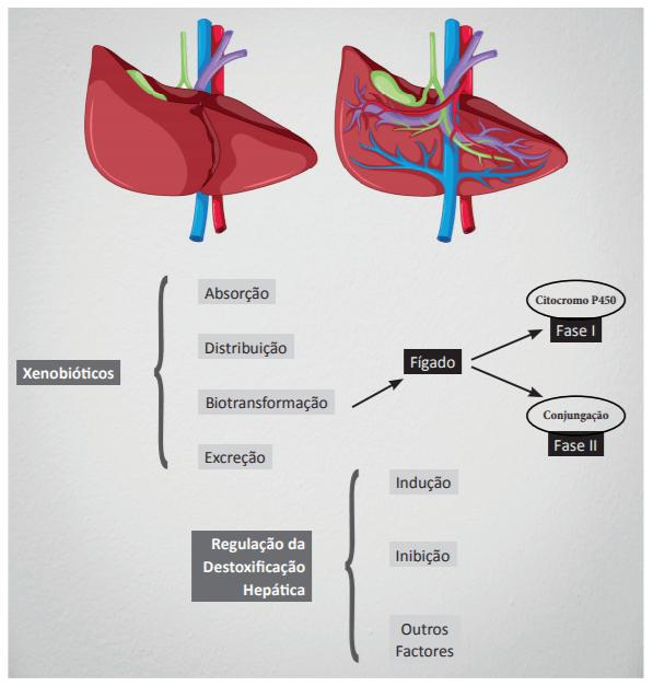 Detox do fígado: fases